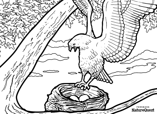 Hawk Coloring Book